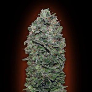 Sweet Soma Feminised Cannabis Seeds by 00 Seeds