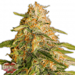 Tropic Punch Feminised Cannabis Seeds by Heavyweight Seeds