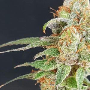 Wedding Cake Feminised Cannabis Seeds by Garden Of Green