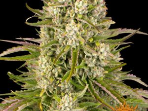 Wedding Cake Auto Feminised Cannabis Seeds by Barney & #039; s Farm