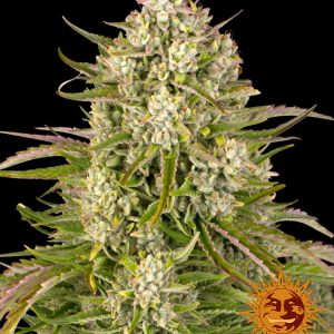 Wedding Cake Auto Feminised Cannabis Seeds by Barney's Farm