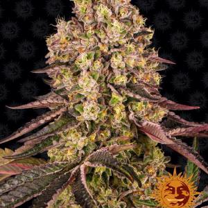 Runtz Muffin Feminised Cannabis Seeds by Barney's Farm Seeds