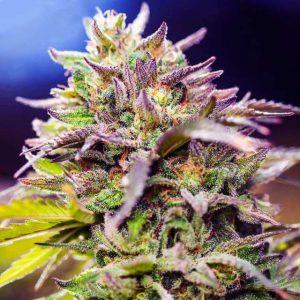 Skunk #1 Feminised Cannabis Seeds by Nirvana Seeds