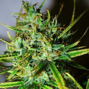 Top 44 Feminised Cannabis Seeds by Nirvana Seeds
