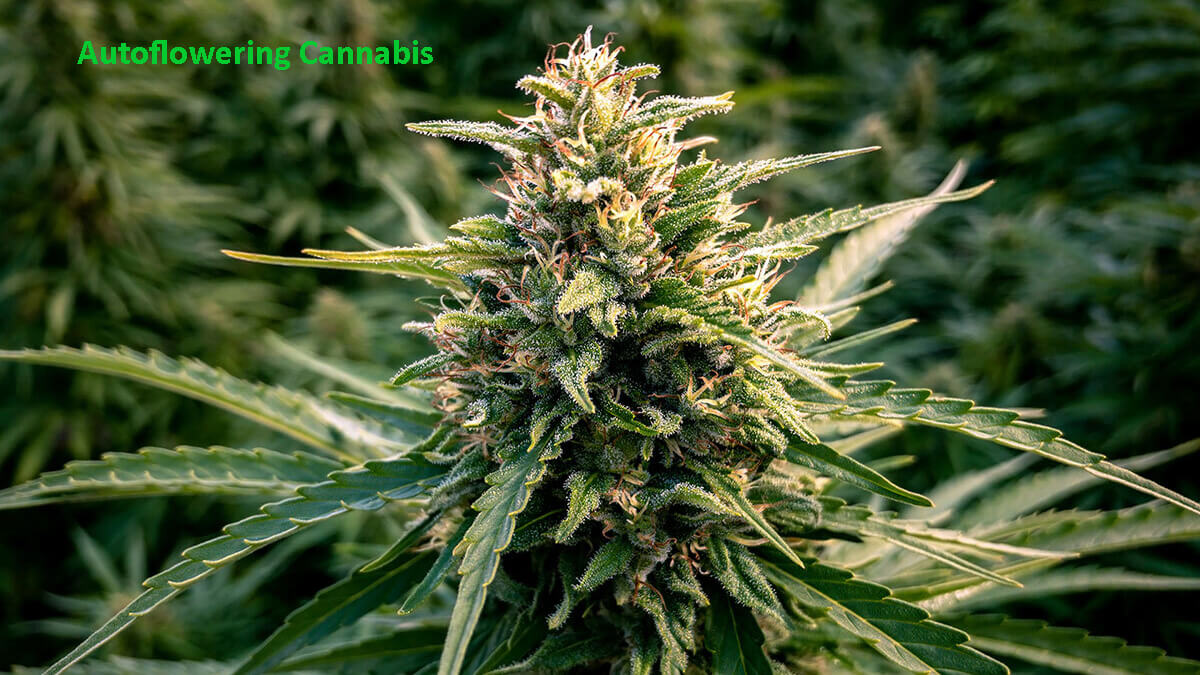 Why You Need to Breed Hybrids With Autoflowering Cannabis