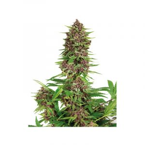 Purple Kush Feminised Cannabis Seeds by Buddha Seeds
