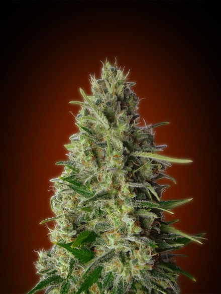 Kali 47 Feminised Cannabis Seeds by Advanced Seeds