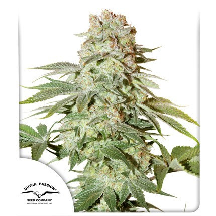 Power Plant Auto Feminised Cannabis Seeds from Dutch Passion