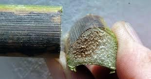 Cannabis stem showing Fungai Fusarium