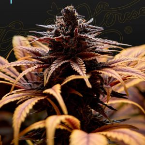 Deep Candy CBD Feminised Cannabis Seeds by Greenhouse Seed Co.