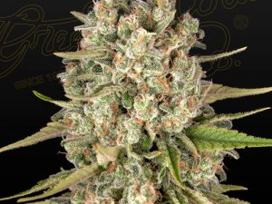 Lost Pearl Feminised Cannabis Seeds af Greenhouse Seed Co.
