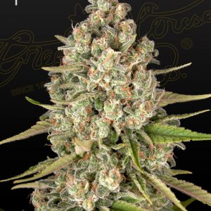 Lost Pearl Feminised Cannabis Seeds by Greenhouse Seed Co.