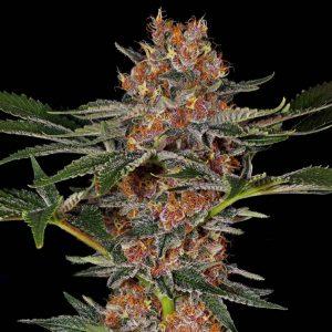 Purple Punch Feminised cannabis seeds