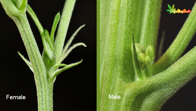 Sexing male and female cannabis plants
