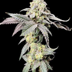 Purple Cherry Ripple Feminised Marijuana Seeds by Elev8 Seeds