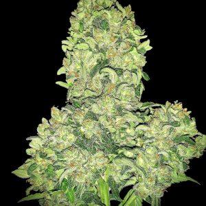 Alien Otto Auto Feminised Marijuana Seeds by Elev8 Seeds