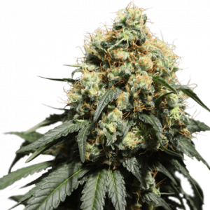 Bruce Lemon Diesel Feminised Cannabis Seeds by Super Sativa Seed Club