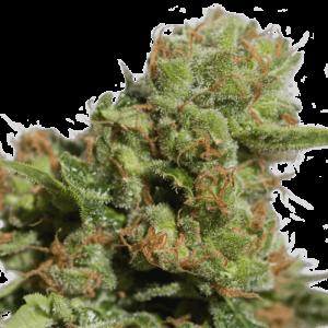 Bruce Lemon Diesel Auto Feminised Cannabis Seeds by Super Sativa Seed Club