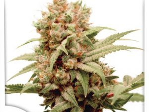 CBG-Force Marijuana Seeds by Dutch Passion