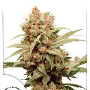 CBG-Force Marijuana Seeds by Dutch Passion
