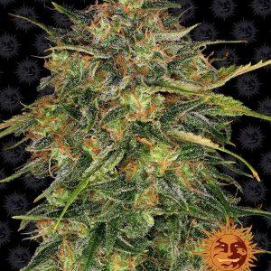 Cheese Feminised Cannabis Seeds by Barney's Farm Seeds