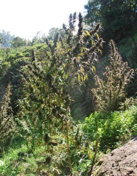 Colombia Mangobiche Regular Marijuana Seeds by Cannabiogen