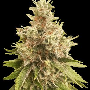 Golden Apple Haze Regular Cannabis Seeds by Super Sativa Seed Club