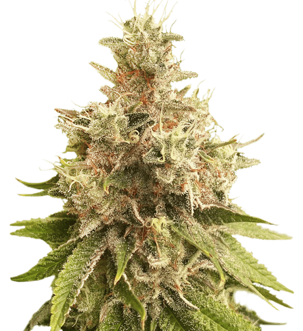 Golden Apple Haze Regular Cannabis Seeds by Super Sativa Seed Club