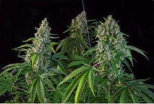 Karel's Herer Haze Regular Cannabis Seeds by Super Sativa Seed Club