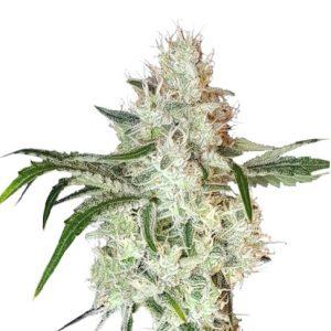 Lemon OG Feminised Cannabis Seeds by Super Sativa Seed Club