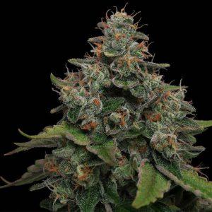 Lemon Tini Regular Cannabis Seeds by Karma Genetics