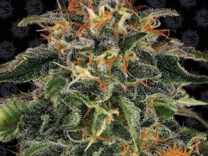 Moby Dick Feminised Cannabis Seeds da Barney & #039; s Farm