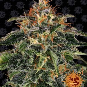 Moby Dick Feminised Cannabis Seeds by Barney's Farm