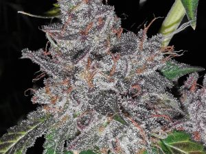 Rainbow Cake Gefeminiseerde wietzaden van Pheno Finder Seeds