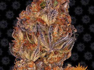 Runtz Auto Feminised Cannabis Seeds by Barney's Farm Seeds