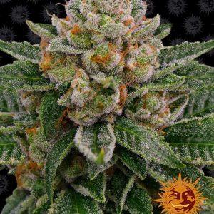Skywalker OG Auto Feminised Cannabis Seeds by Barney's Farm Seeds