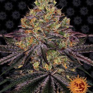 Watermelon Zkittlez Feminised Cannabis Seeds by Barney's Farm Seeds