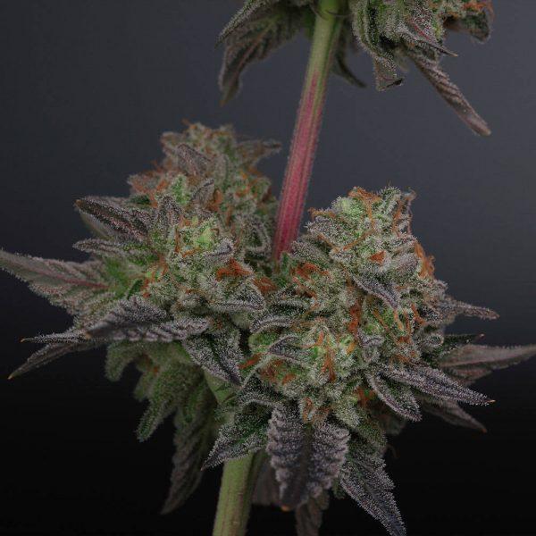 Zowahh Regular Cannabis Seeds