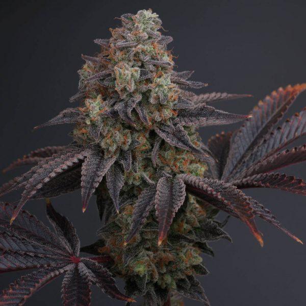 Zowahh Regular Cannabis Seeds by Karma Genetics
