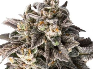 Girl Scout Cookies Feminised Cannabis Seeds