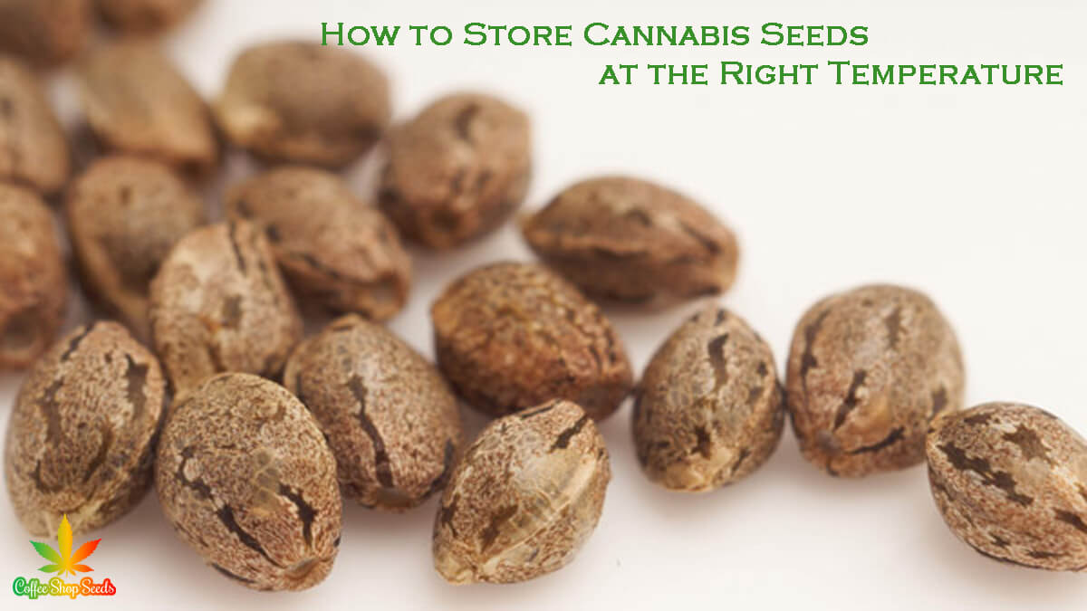 How to Store Cannabis Seeds at the Right Temperature