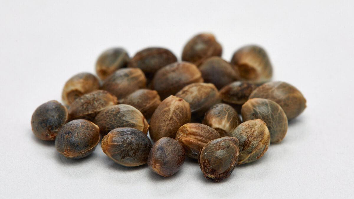 3 Fun Facts About Cannabis Seeds