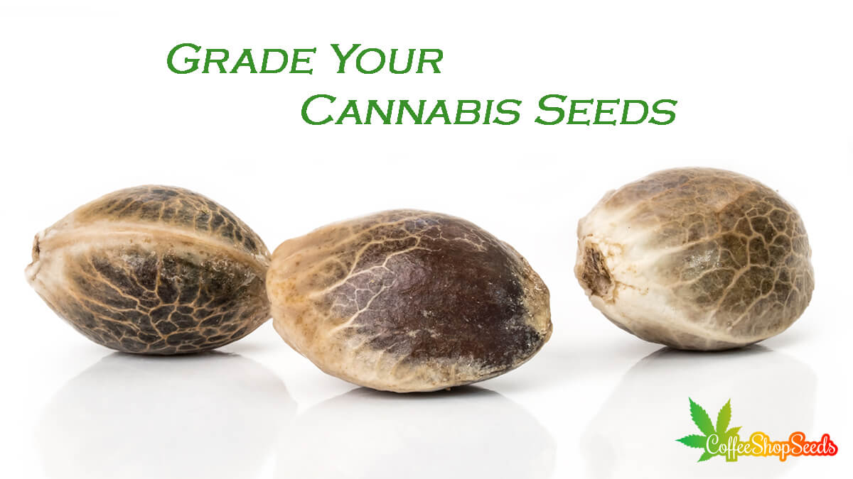 Harvesting Cannabis – How to Grade Your Cannabis Seeds