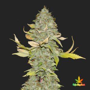Bruce Banner Feminised Cannabis Seeds