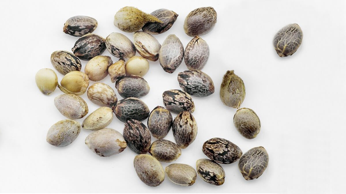 How to Determine the Quality of Your Cannabis Seeds