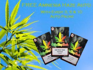 FREE Amnesia Haze Auto