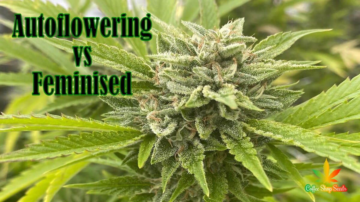 Autoflowering vs Feminised Seeds: Advantages for Indoor Cultivation