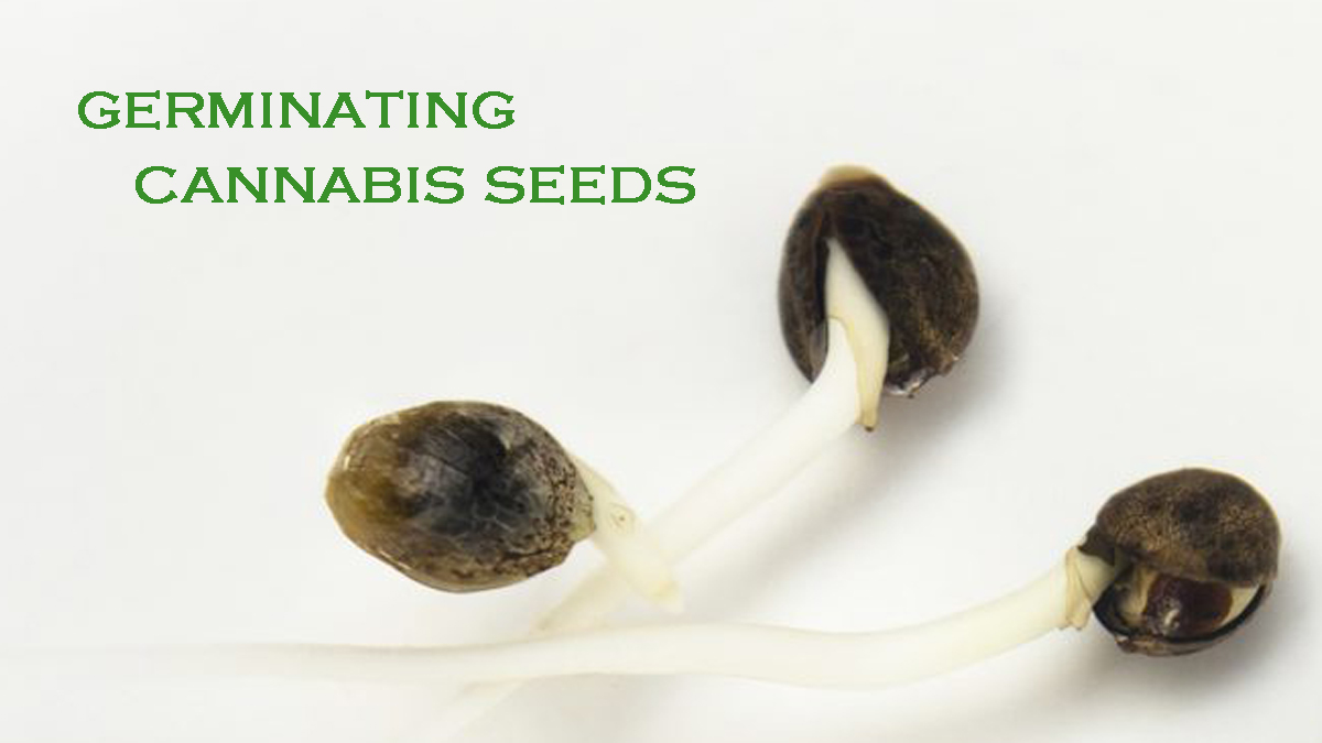 Our Cannabis Seed Germination Guide
