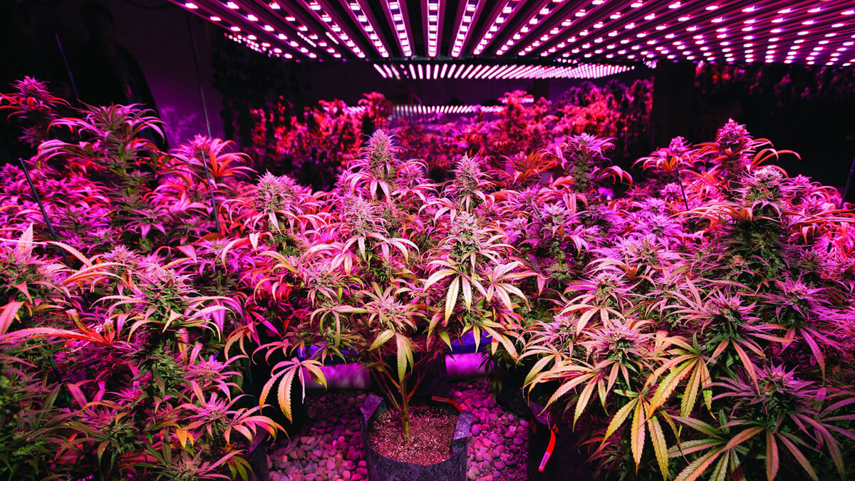 The Light Cycle for Cannabis Growth & Yield