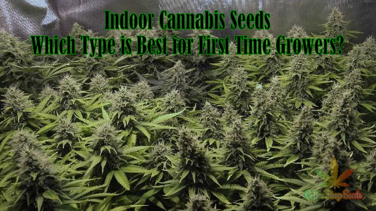 Indoor Cannabis Seeds – Which Type is Best for First Time Growers?